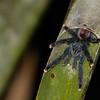 Pinktoe Tarantula (Avicularia avicularia)