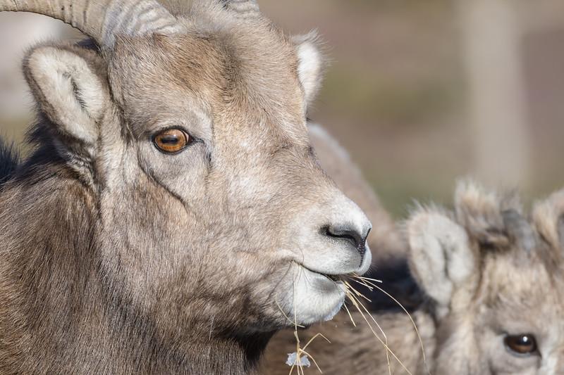 Big Horn Sheep (Ovis canadensis)