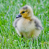 Baby geese and their mother taken at Mark Andy Inc on 4/29/15