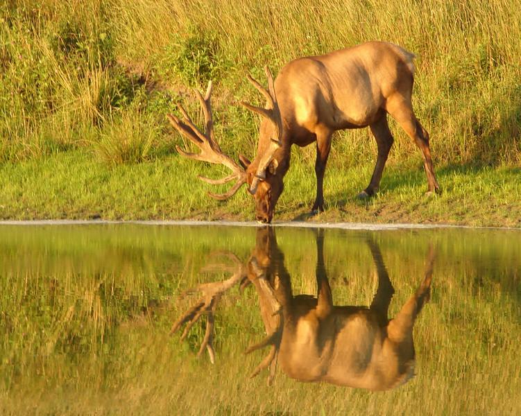 Elk 8x10