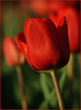 Tulips are Red fr2