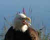 Eagle 8x10