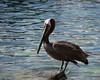 Cabo Pelican 8x10