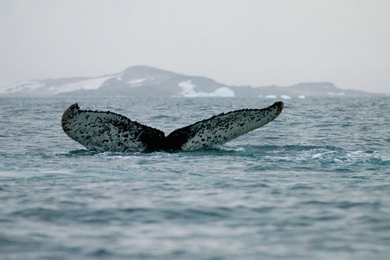 The Humpback's Whale Fins seen at the begin of the Dive