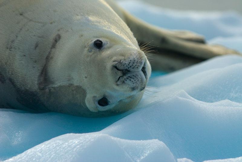 Crabeater Seal (Lobodon carcinophaga)