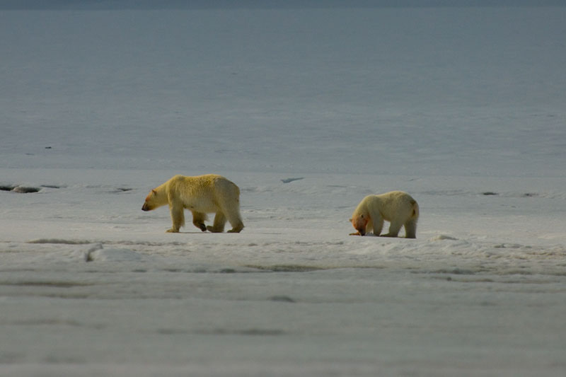 Polar Bear and her two cubs on the shoreline of Andoyane Islands
