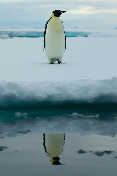 His Majesty the Emperor Penguin (Aptenodytes forsteri)