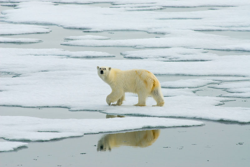 A Polar Bear (Ursus maritimus) walking on the sea ice.