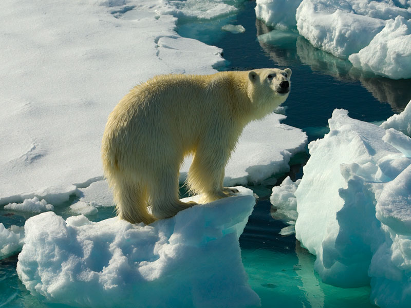 Meeting the King of the Arctic (Ursus maritimus) on the Ice Pack.