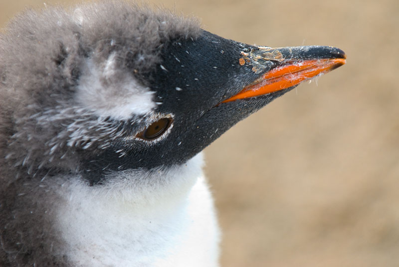 A Southern Gentoo Penguin (Pygoscelis ellesworthi) Chick