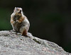 "It's You, Wendy...??!<br /> Golden-mantled Ground Squirrel, Colorado<br /> ""Spermophilus lateralis"""