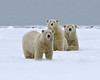 "This Polar Bear photograph was captured in the Arctic National Wildlife Refuge (9/09).    <FONT COLOR=""RED""><h5>This photograph is protected by the U.S. Copyright Laws and shall not to be downloaded or reproduced by any means without the formal written permission of Ken Conger Photography.<FONT COLOR=""RED""></h5>"