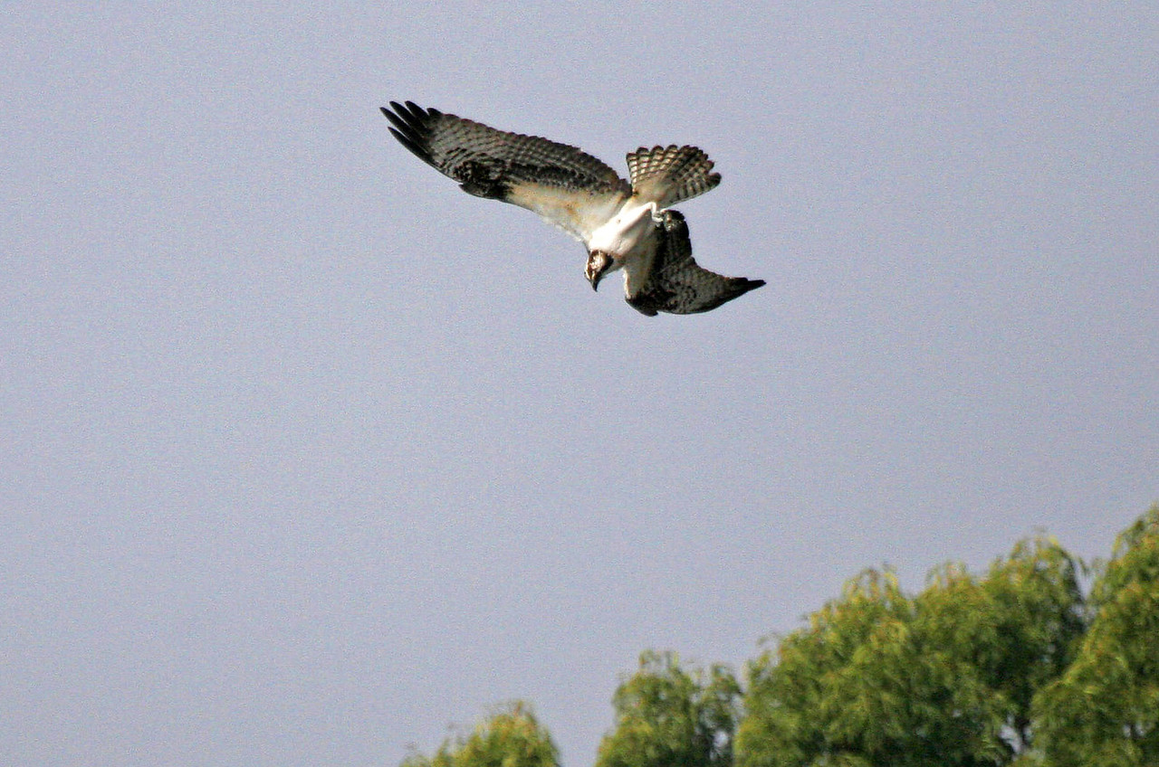 Osprey (Puddingstone Lake, San Dimas, California)