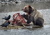 Grizzly working an Elk Carcass