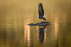 Bald Eagle - takeoff from a carcass #1