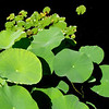Lily pads in a reflecting pool at the Thai Pavilion, Olbrich Garden, Madison, WI. 5x7 wppc.