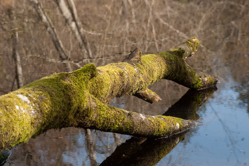 Moss covered log at Bloedel Reserve