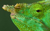 Chameleon in Madagascar