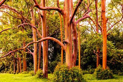 Maui's Painted Forest Rainbow Eucalyptus