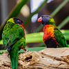 Rainbow Lorikeets @ National Aquarium