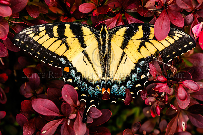 Eastern Tiger Swallowtail Butterfly on Barberry