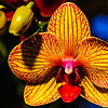 Orchids of Longwood