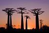 Boabab Alley at sunrise, Madagascar