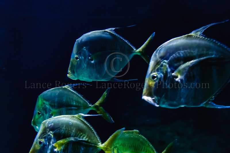 Lookdowns (Silver Moonfish) @ Baltimore Aquarium