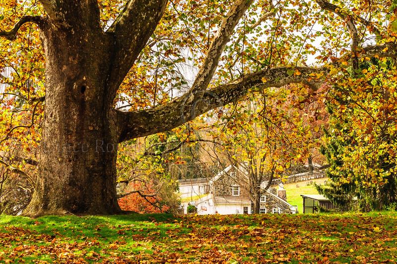 Oak Tree at Brandywine Battlefield, Chadds Ford, PA