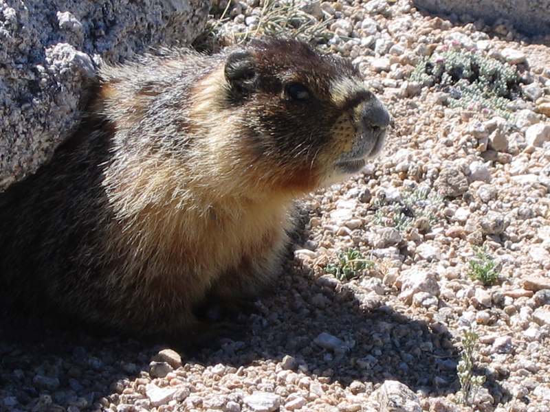 One of my climbing buddies<br /> (it's a marmot if you are wondering, quite common at high altitudes)