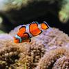 Clown Fish National Aquarium