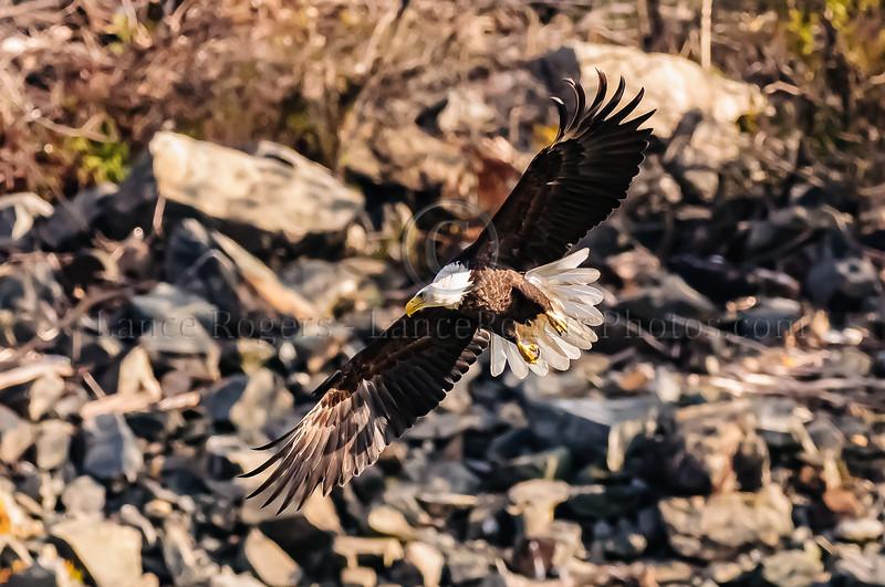 Eagles of Conowingo