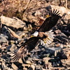 Eagles of Conowingo
