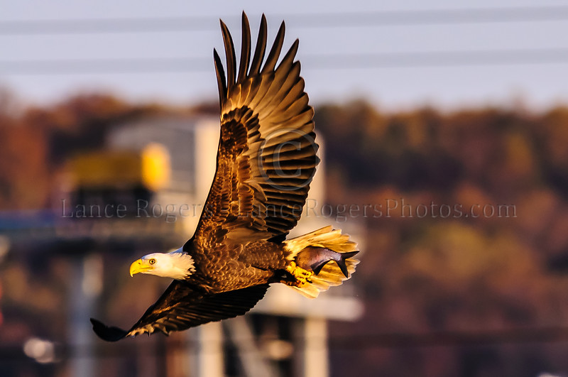 Bald Eagle at Conowingo