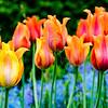 Tulips of Longwood