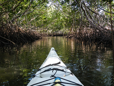 Paddling through the mangroves.
