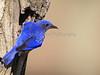 IMG_8829MaleaAndFemaleBluebird