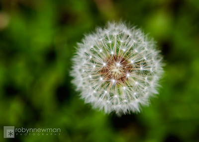 Dandelion in Boothbay Harbor, Maine