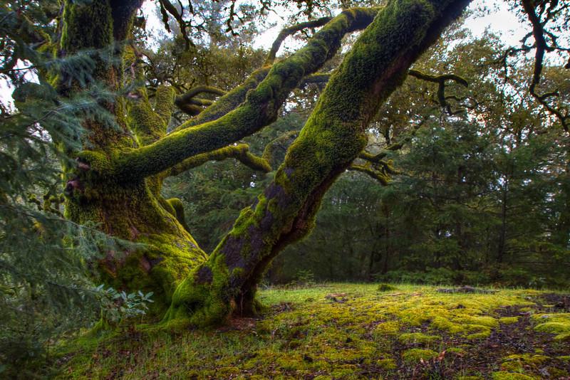Mossy Oak 1