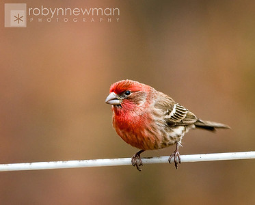 Purple Finch 02/05/11