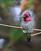 Anna's Humming Bird 1