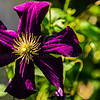 Clematis of Longwood