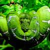Emerald Boa @ National Aquarium