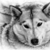 Husky - Canine Carnival - Liverpool,NY