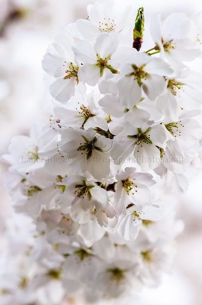 Cherry Blossoms_005