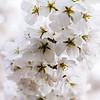 Cherry Blossoms_005