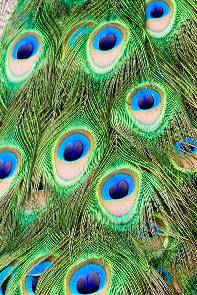 Kew Gardens Peacock