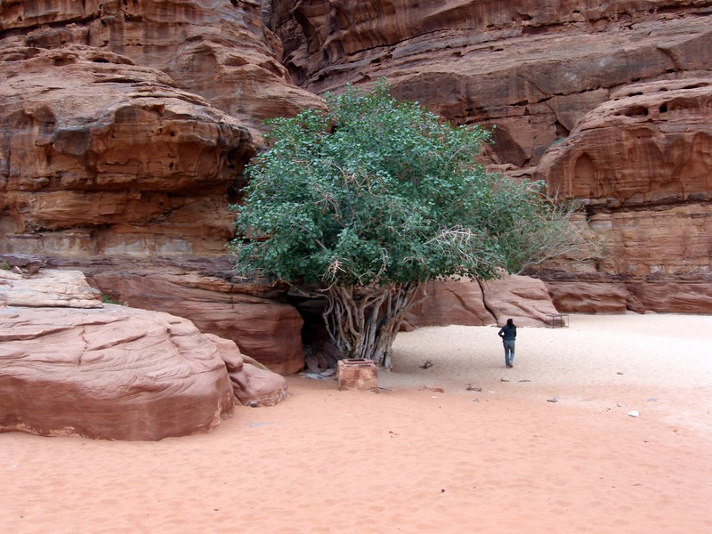 Wadi Rum, Jordan; one of my favorite shots from my visit; love the fullness of the tree in such an arid environment....