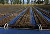 Irrigating Sunflowers