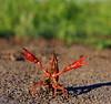 IMG_5878Crayfish2